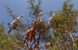 Essaouira – Chèvres dans les arganiers – Maroc / Goats in Argan – Morocco – Photo Image Photography – Huile d'Argan Argan oil www.supercar-roadtrip.fr
